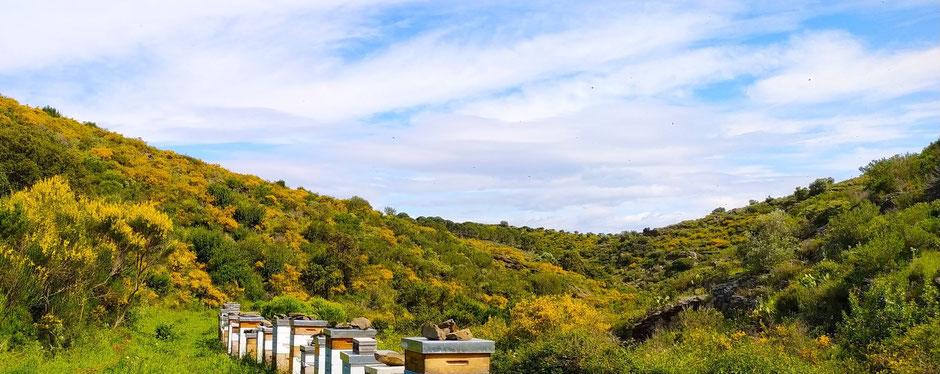Abellar de Dolça Abella al Parc Natural del Cap de Creus