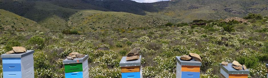 Pol·len d'abella de flors d'estepa