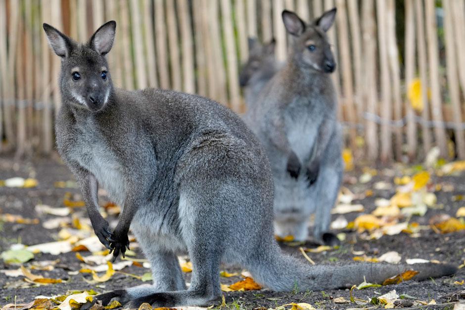 serengeti park känguru pfad