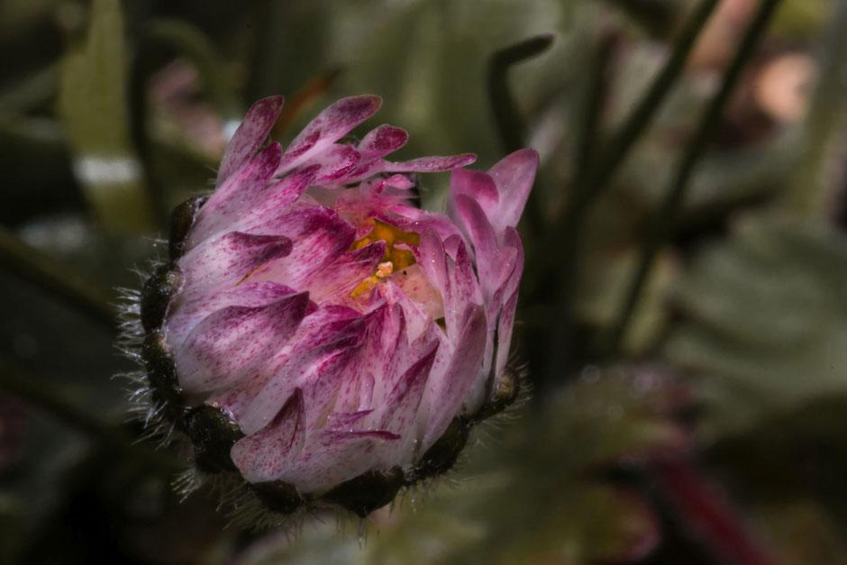 gaensebluemchen-rosa-knospe-makro