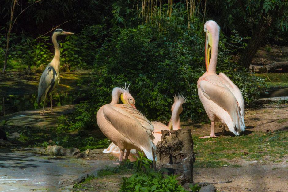 pelikane-am wasser-tiere