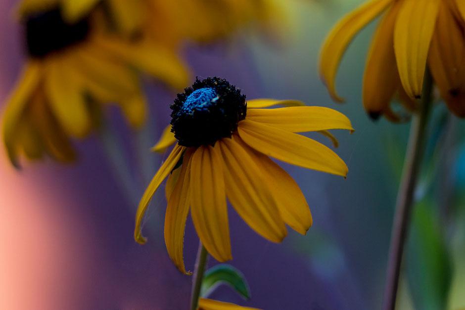 sonnenhut-blueten-echinacea-macro