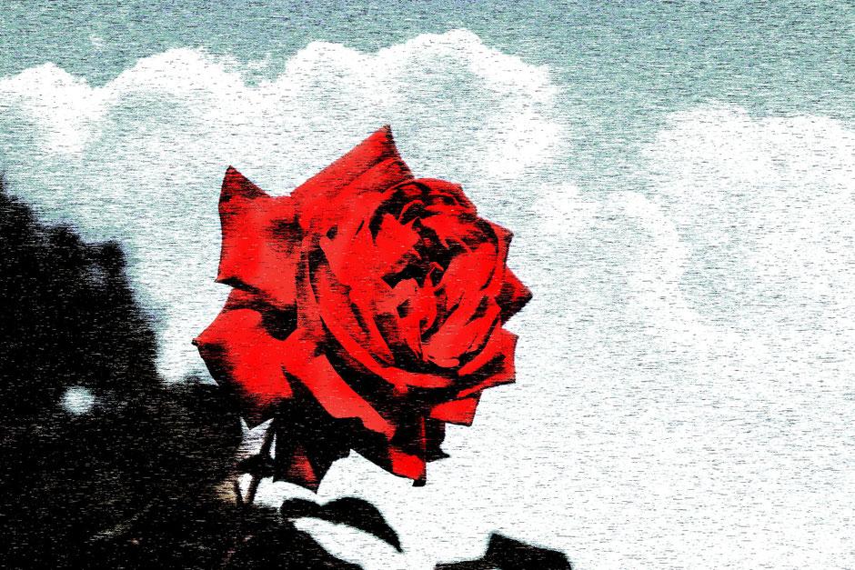 aufgebluehte-freilandrose-rot-art