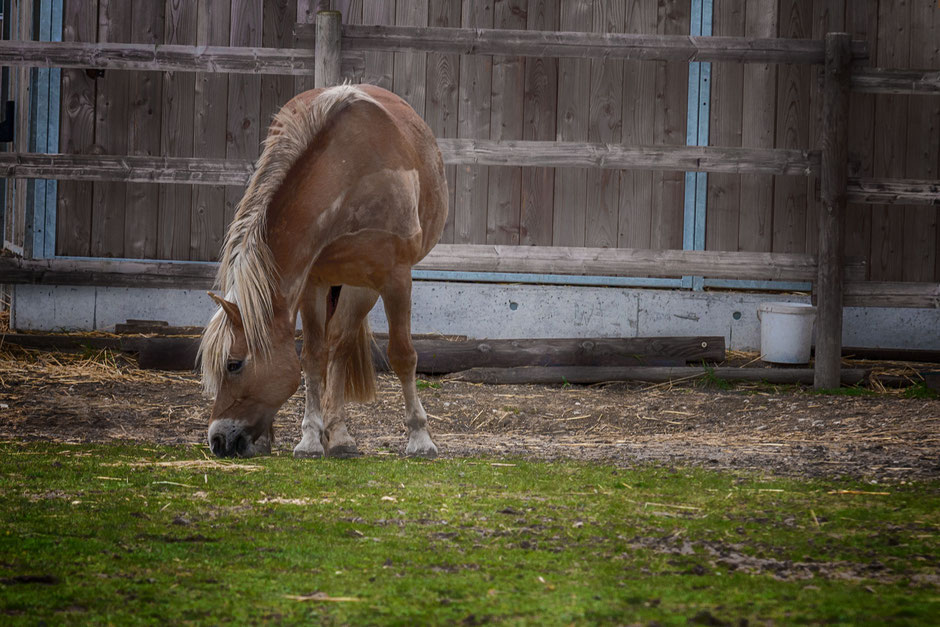 haflinger-beim-grasen