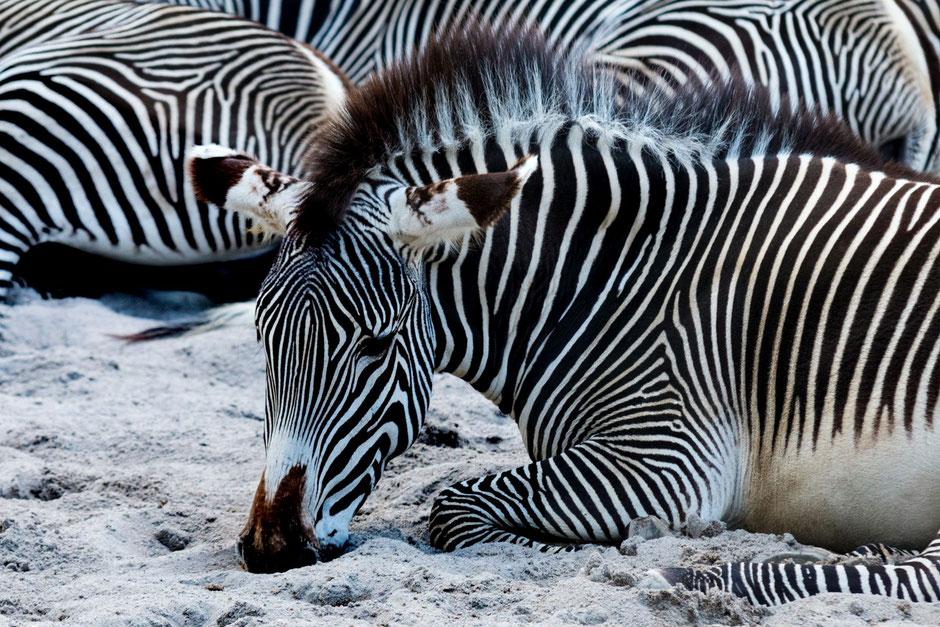 zebra-tiere