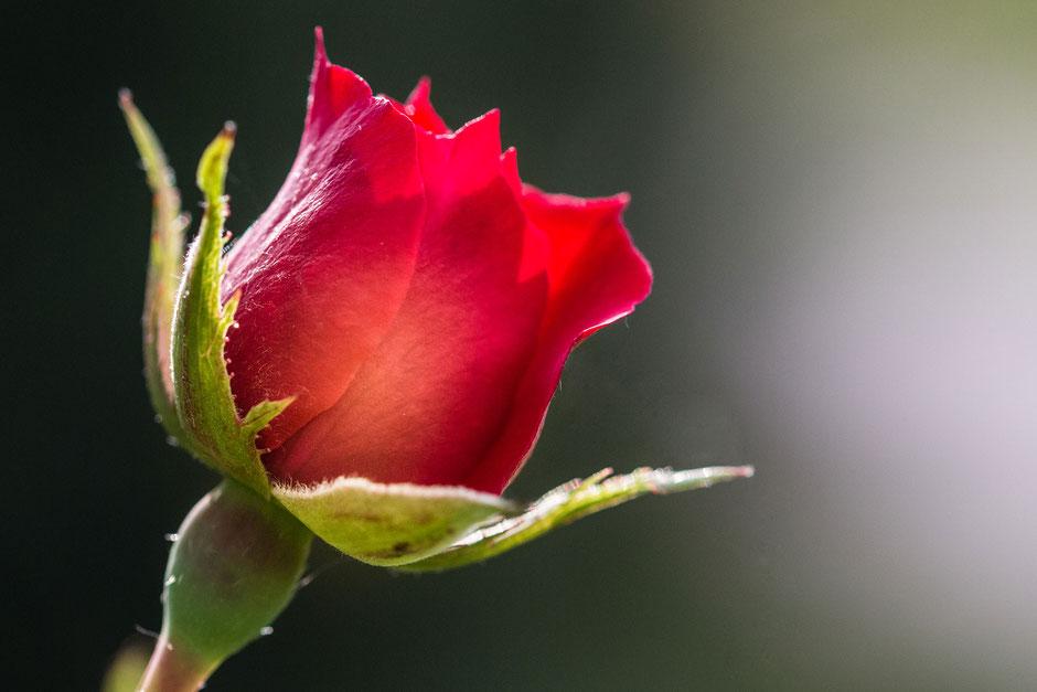 rose-rot