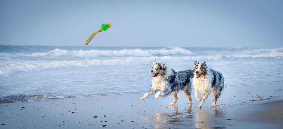 Zwei Hunde tollen am Strand herum, gut versichert mit einer speziellen Tier-Krankenversicherung