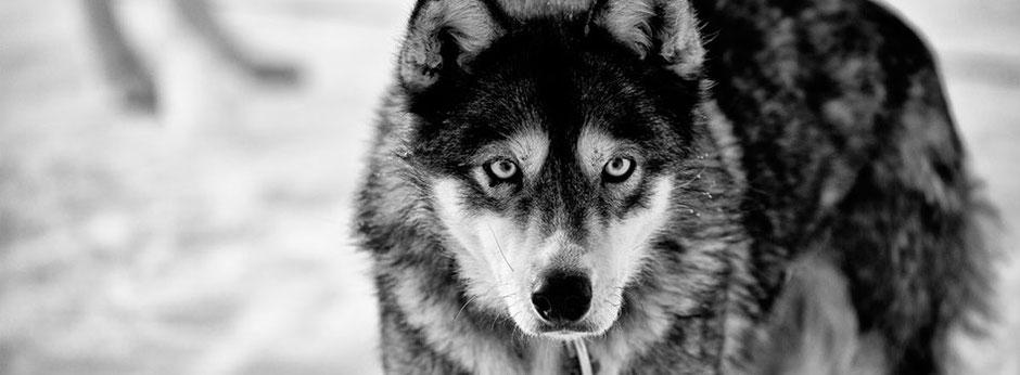 Schau mir in die Augen - Ein Husky vefolgt genau was ich mache
