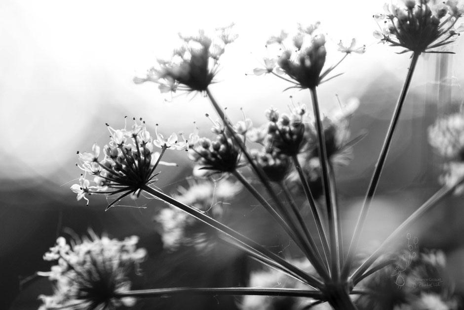 une inflorescence de berce. c'est juste magique non ? @johannegicquel