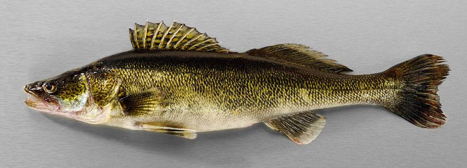 Zander Schweiz Königs-Zander Zucht Speisefisch Fisch
