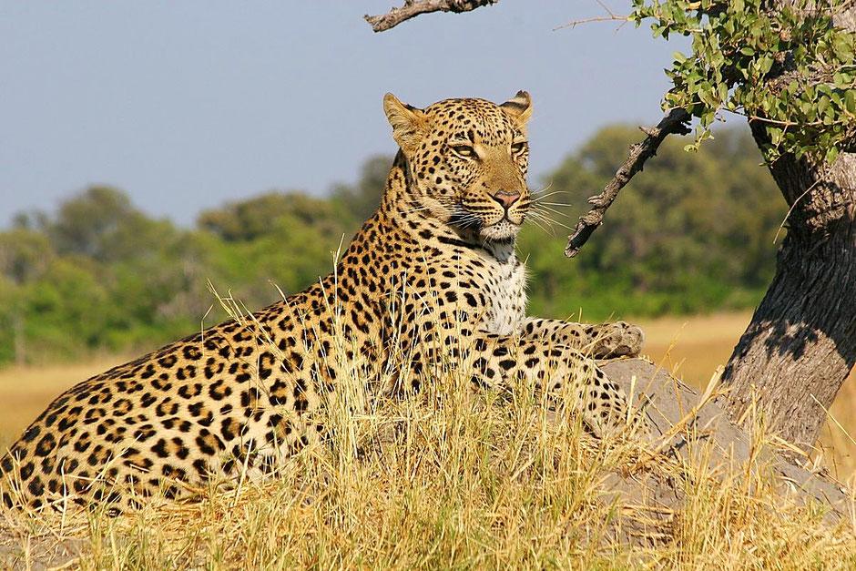 Leopardenjagd in Namibia