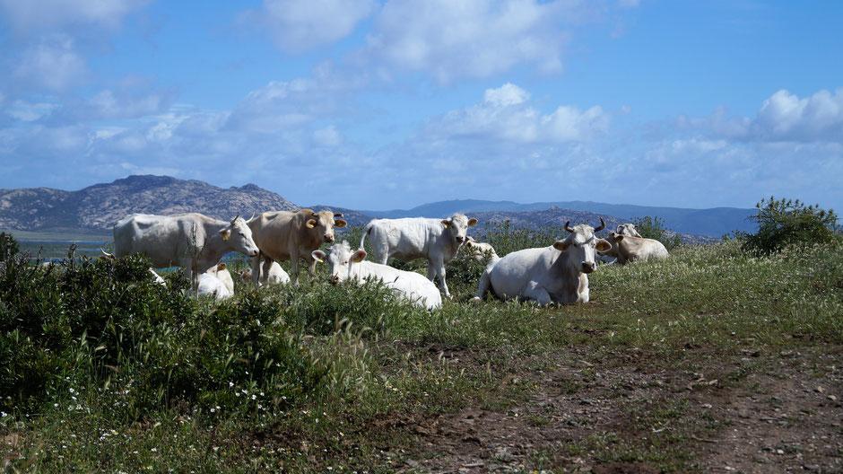 Muh - Kühe auf dem Weg zum Torre Falcone, im Hintergund die Insel Asinara (Sardinien)
