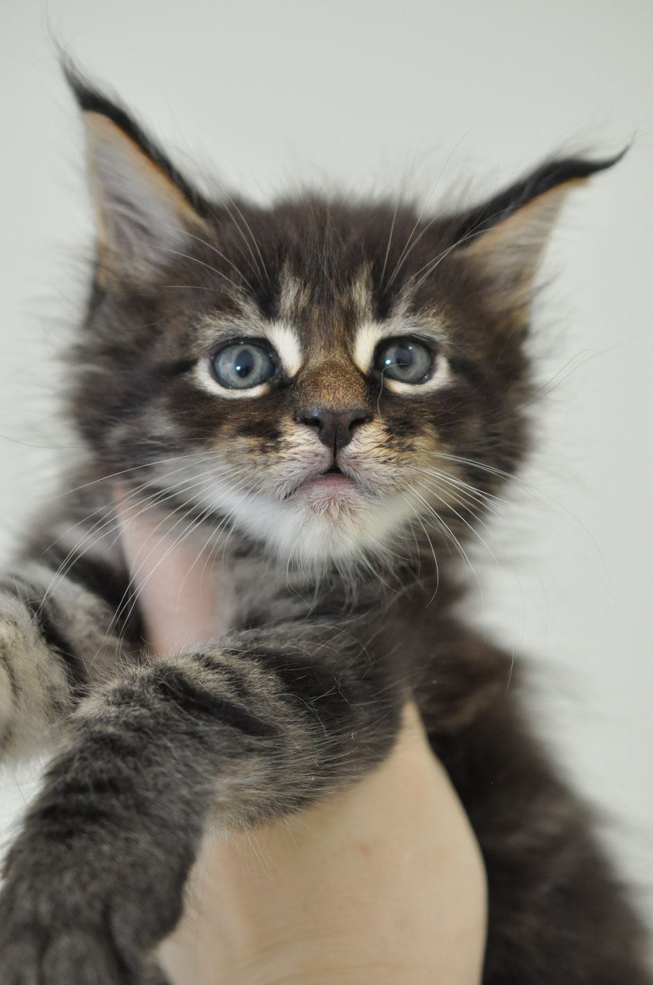 Brown Mackerel Tabby Maine Coon for sale