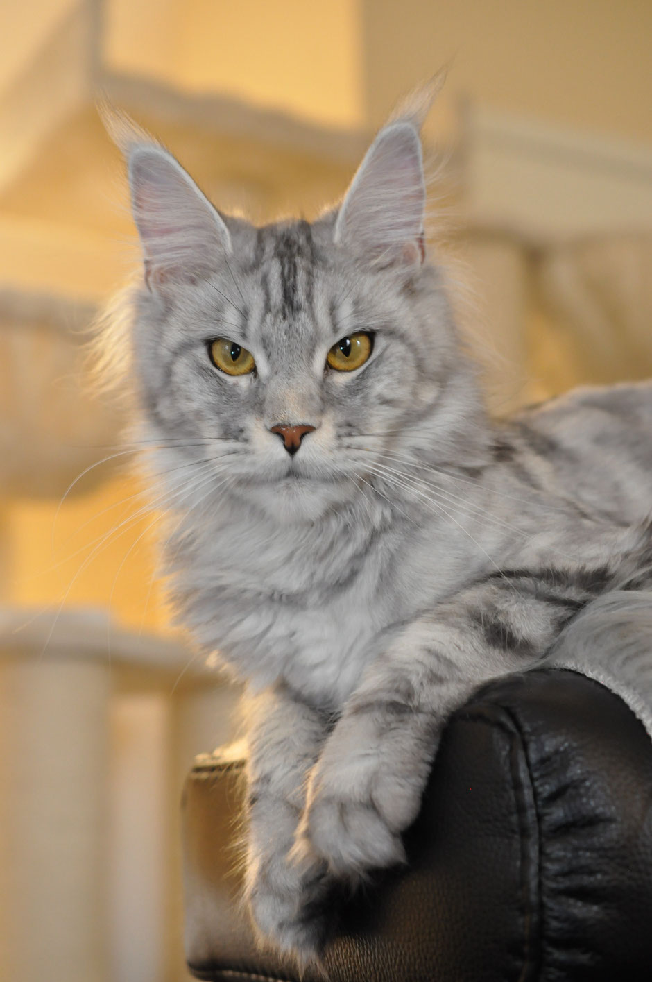 high silver classic tabby maine coon cat