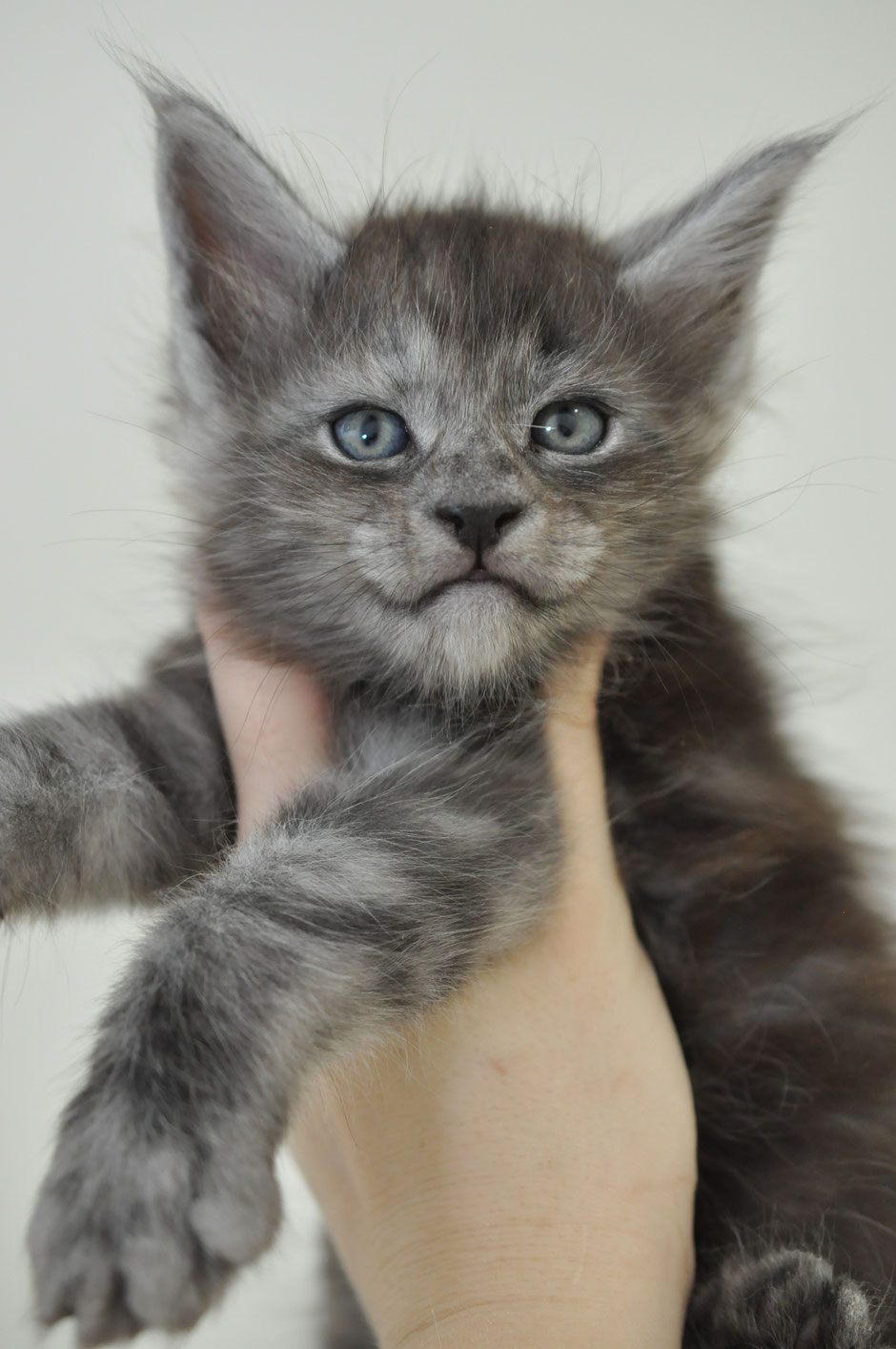 Black Smoke Maine Coon Kitten for Sale