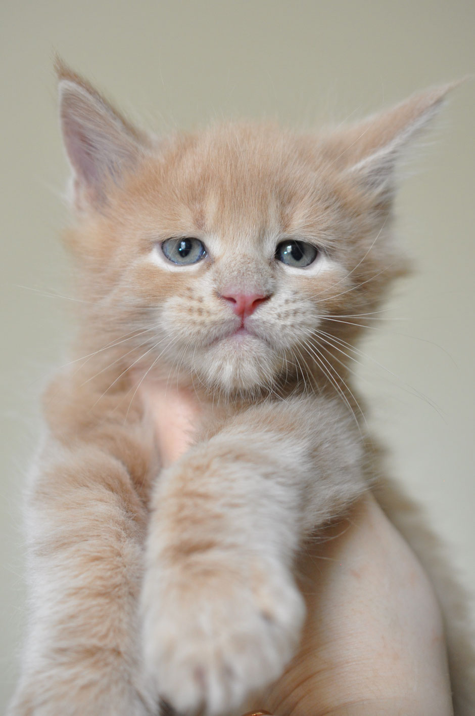 orange maine coon kitten for sale near me