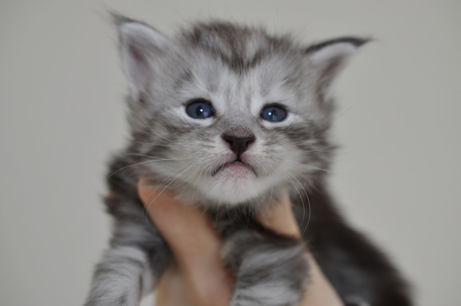 Maine Coon kittens for sale - Maine Coon Breeders