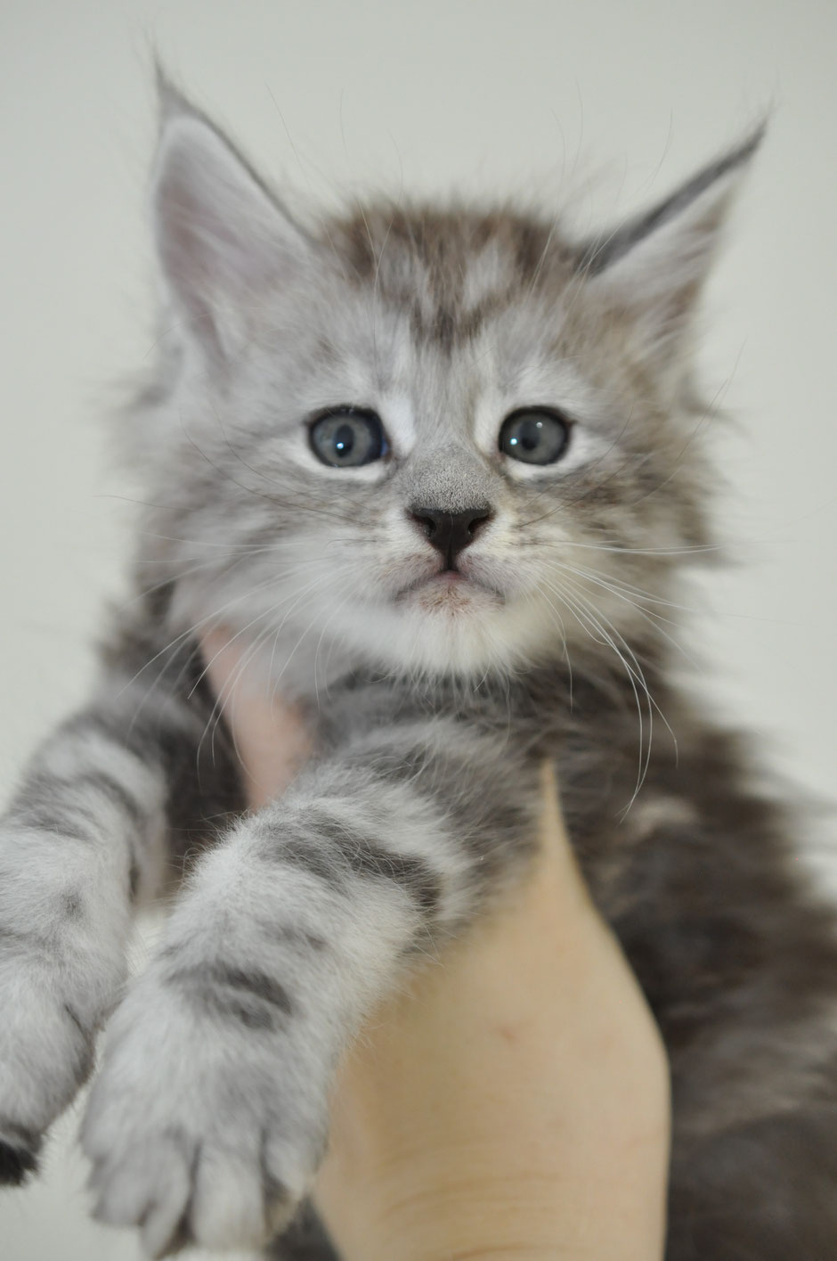 High Silver Maine Coon Kansas USA, maine coon cats for sale