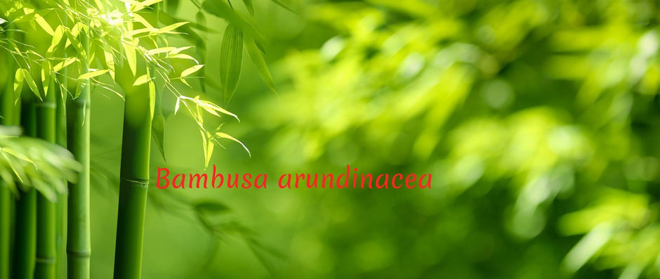 Auf dem Bild sieht man Bambus arundinacea. Homöopathisch betrachtet ist Bambus ist ein relativ neues Arzneimittel in der klassischen Homöopathie.