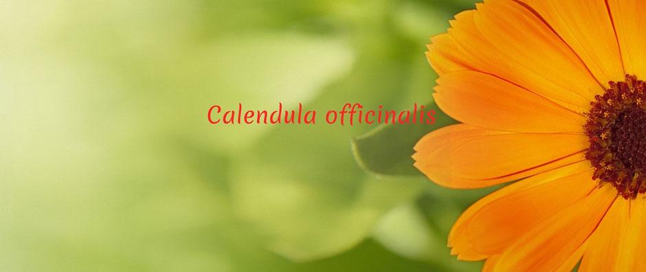 Unverbindliches kostenfreies Erstgespräch für eine homöopathische Behandlung. Auf dem Bild ist eine Calendulablüte zu sehen. Calendula ist die Ringelblume.