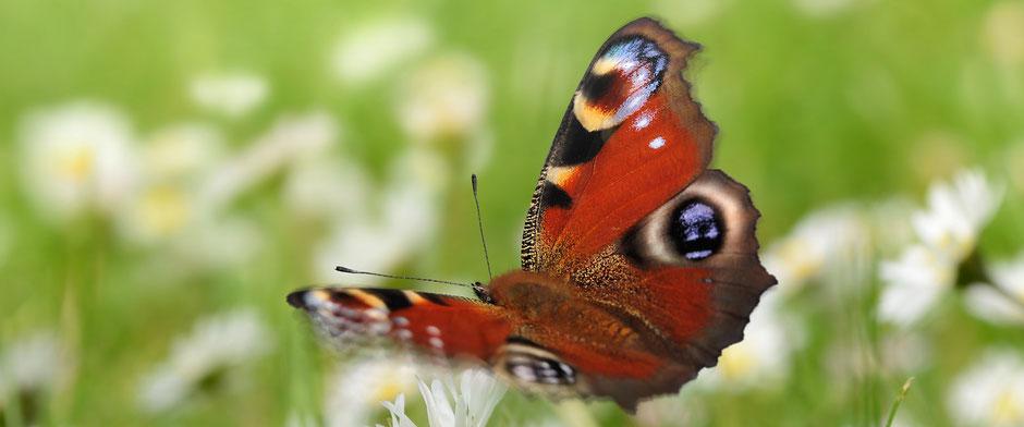 Auf dem Bild ist ein Schmetterling zu sehen. Die Schilddrüse hat die Form eines Schmetterlings.