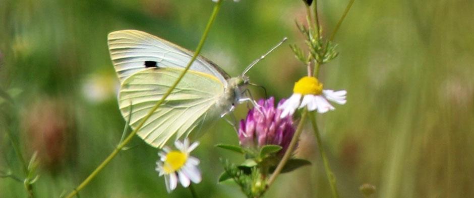 Auf dem Foto ist ein Kohlweißling zu sehen. Der Schmetterling steht für die Form der Schilddrüse. Morbus Basedow ist eine Autoimmunerkrankung der Schilddrüse, es werden dabei übermäßig viele Schilddrüsenhormone produziert und ausgeschüttet.