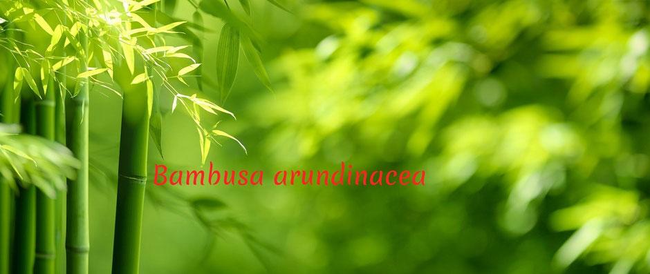 Die Behandlung umfasst unter anderem die ausführliche homöopathische Erstanamnese. Bambus gibt es als  relativ neues homöopathisches Arzneimittel.
