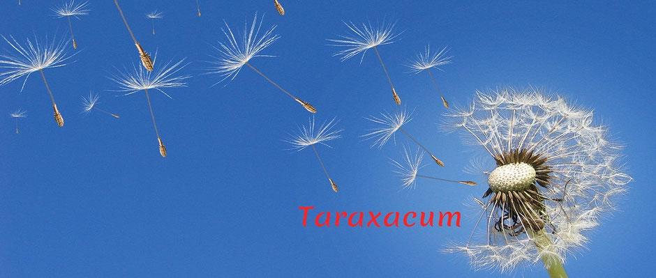 Auf dem Foto ist eine Löwenzahnblüte lateinisch Taraxacum zu sehen, Taracacum kann als homöopathisches Mittel bei Leberbeschwerden Anwendung finden.
