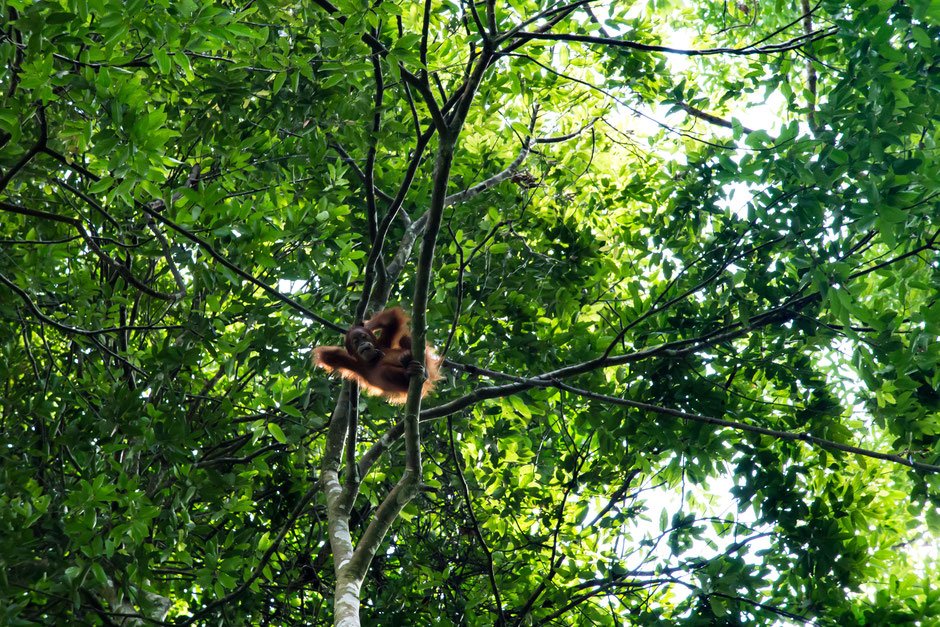 Lässig schaut der junge Orang-Utan auf uns hinab