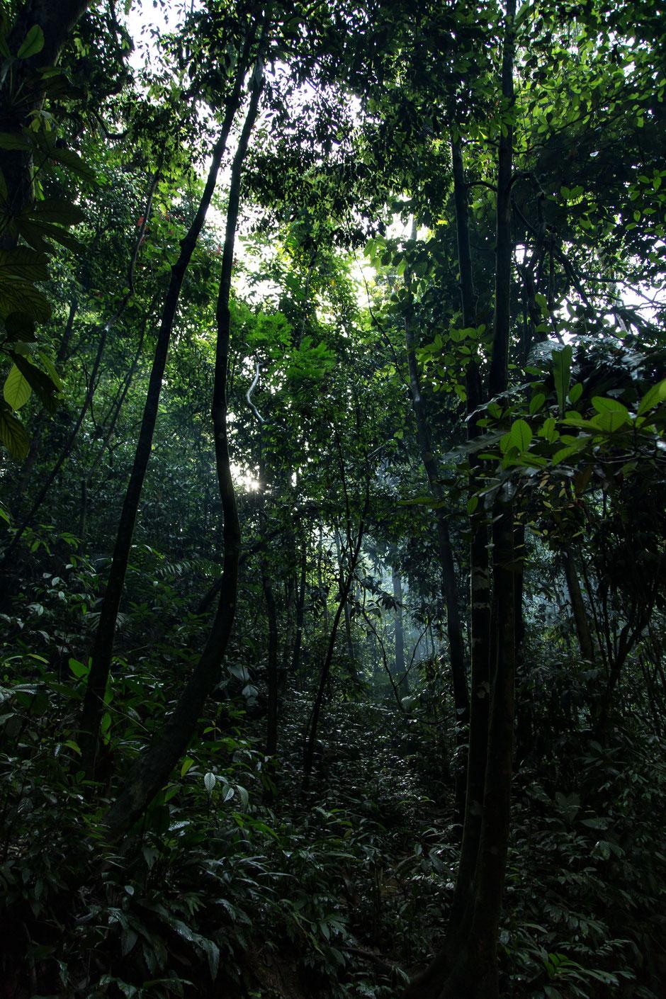 Sumatras dichbewachsener Regenwald