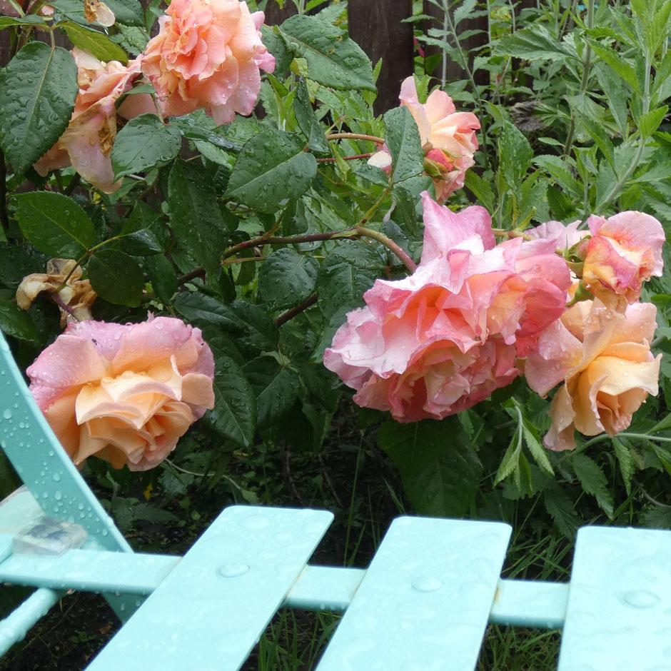 Le poids des gouttes d'eau, après des jours de pluie...  Ces roses sont pourtant superbes et si odorantes !