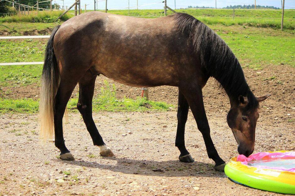 Unser erstes Fohlen: Romeo, geboren 2012 aus der Rafinesse (Warmblut von Rubinstein) von Heraldico CA III (P.R.E.)