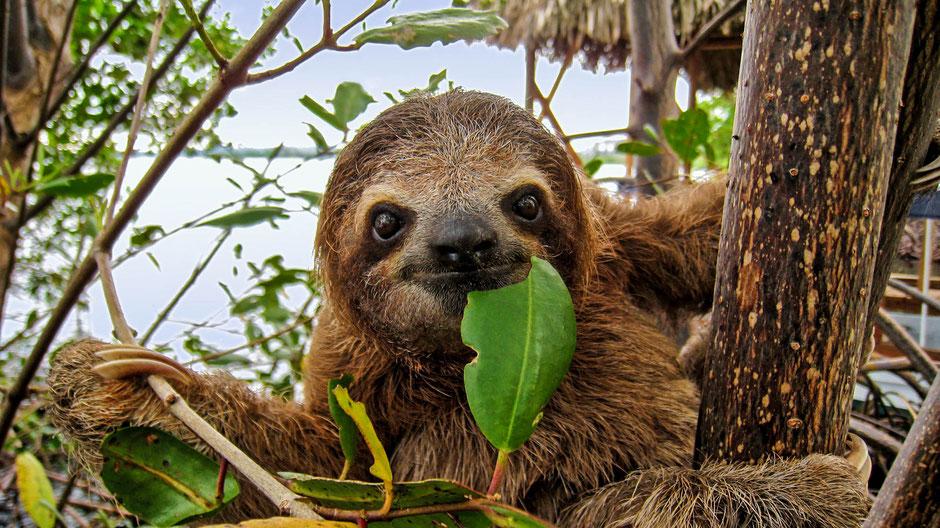 Süsses Faultier in Costa Rica. Faultiere sind in Costa Rica heimisch.