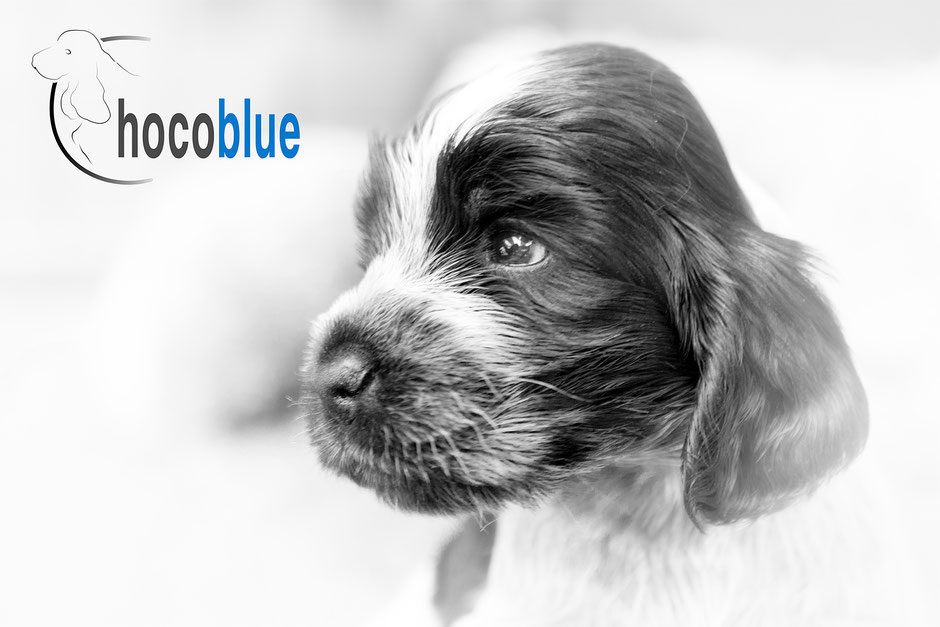 Chocoblue-Cocker Spaniel Inglés
