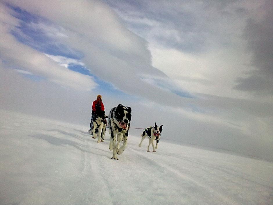 Mit eigenem Husky Team In Ljungdalens Fjäll