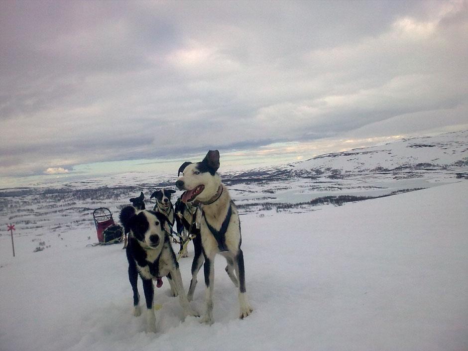 Helags Husky : Die Vorteile des Soloreisenden bei Huskytouren