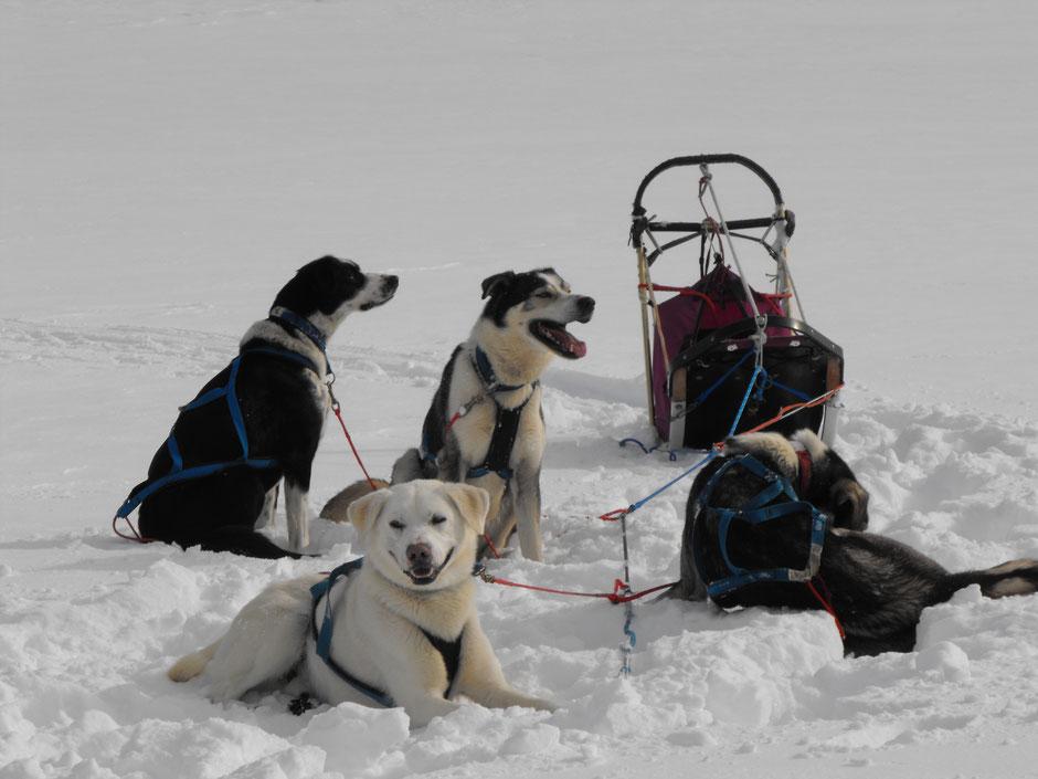 Helags Husky : Pause im Schnee