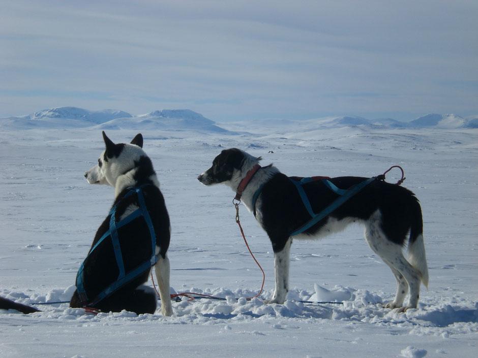 Helags Husky : Schlittenhunde vor der Weite des Fjälls