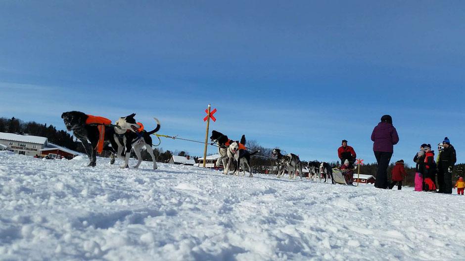Helags Husky : Schlittenhundtag für Kinder in Ljungdalen
