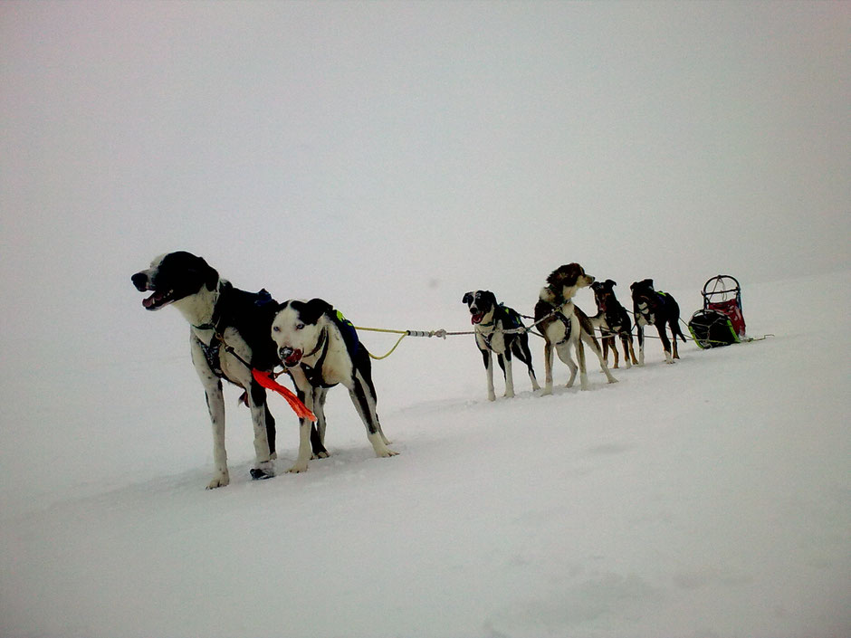 Helags Husky : 6er Team Schlittenhunde