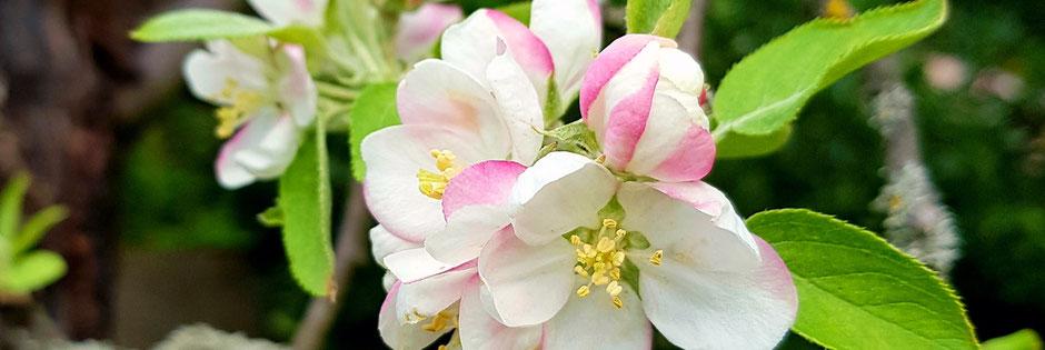 Annie Attal | Crab Apple - Entretien Fleurs de Bach - Lyon