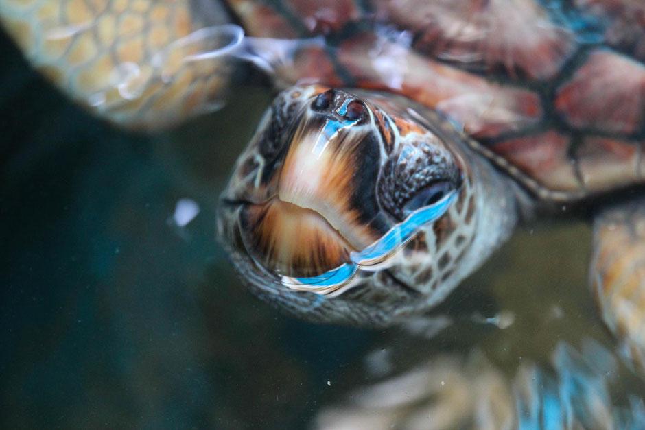 Karettschildkröte - Schildkrötenschutzstation