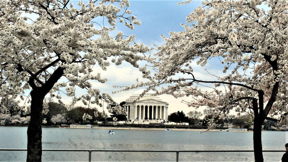 Washington Sehenswürdigkeiten: Tidal Basin zur Kirschblüte