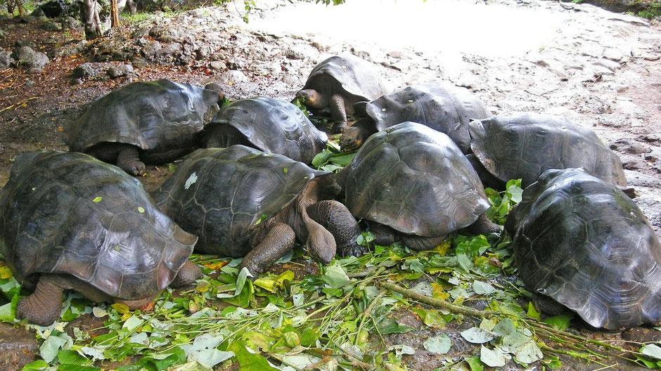 Galapagos Reiseblog Riesenschildkröten
