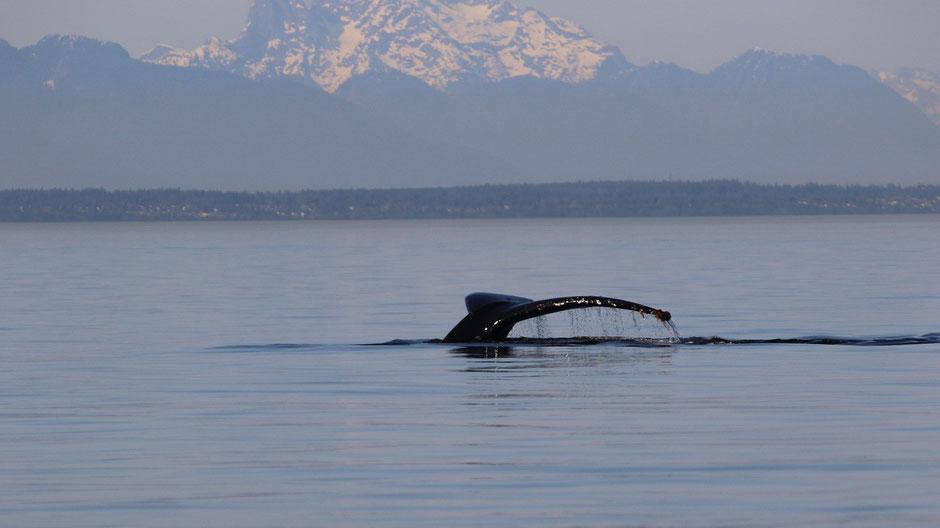 Vancouver Island Reise - Wale beobachten