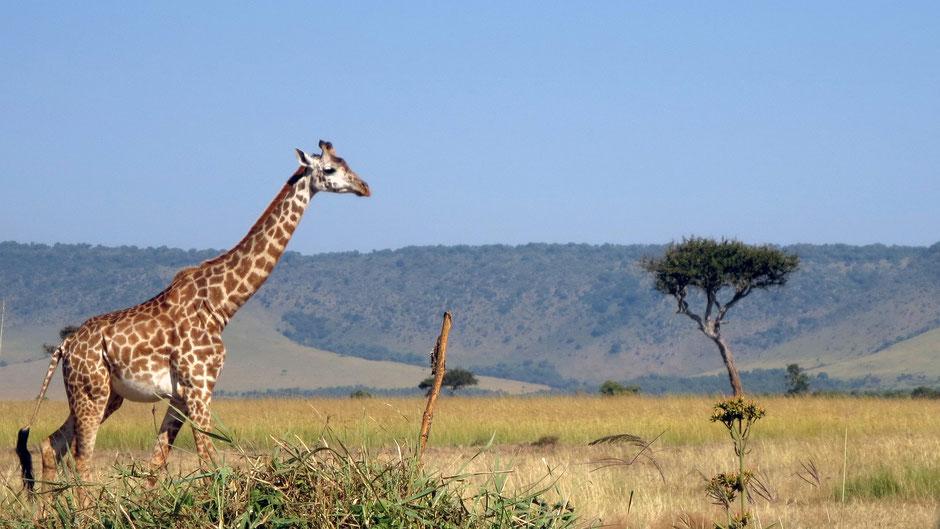 kenia masai mara safari erfahrungen Anreise Lage Route