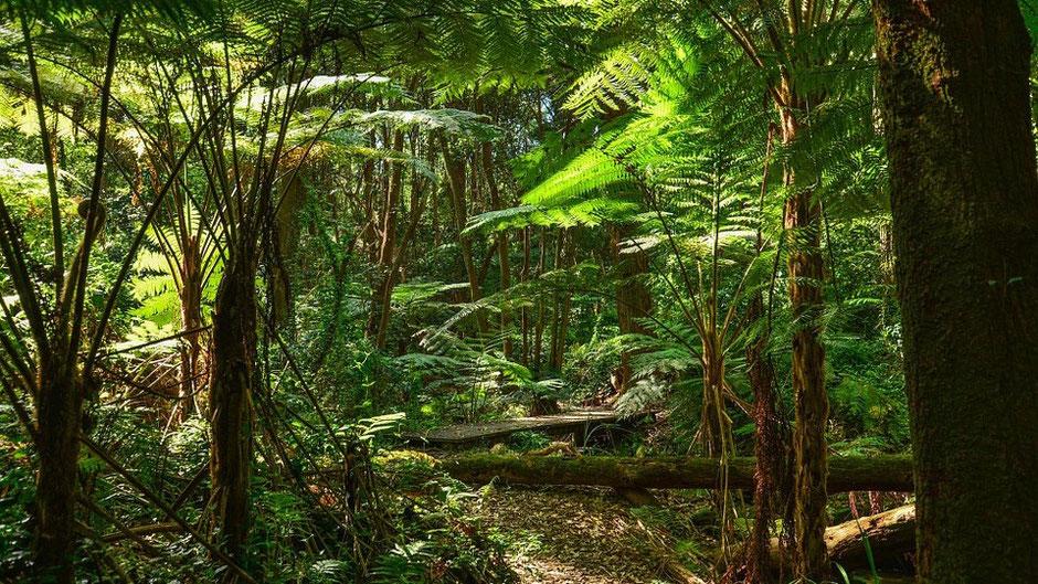 Cairns Sehenswürdigkeiten Daintree Rainforest