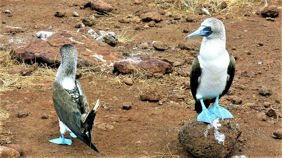 Galapagos Reiseblog Blaufusstölpel