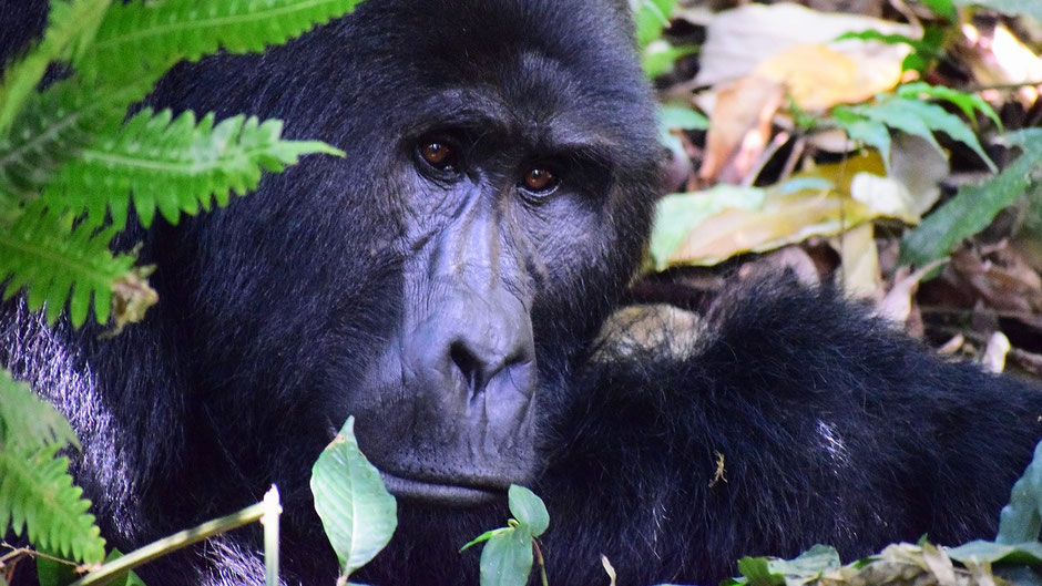 Schönste Reiseziele Januar Afrika - Gorilla Trekking in Uganda
