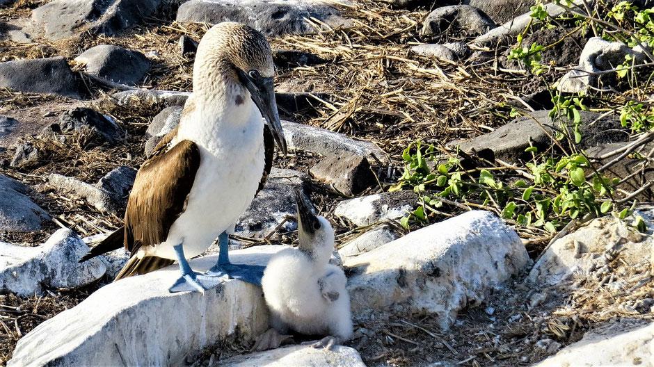 Galapagos Reiseblog Raubtierfütterung